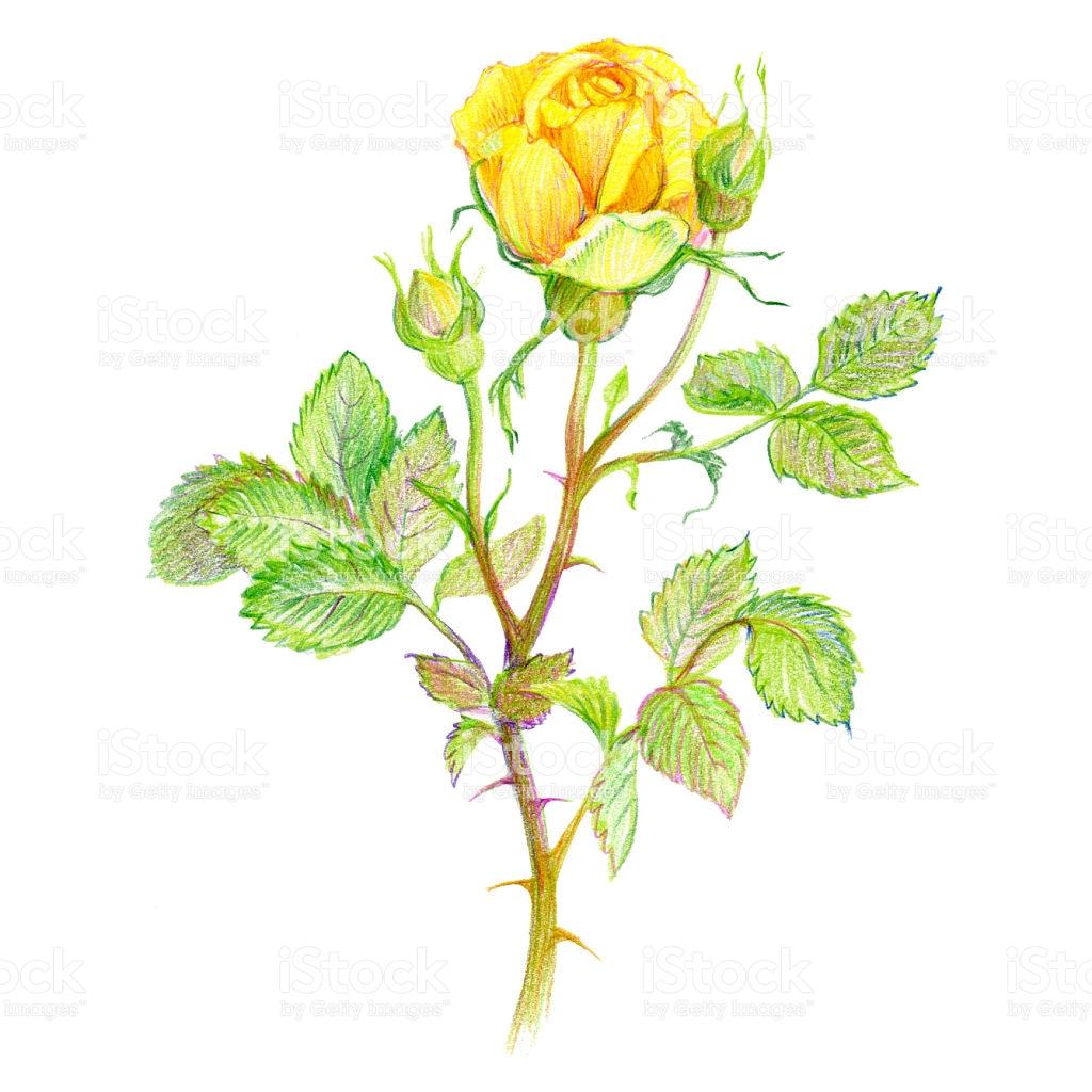 desenhos para colorir flor rosa amarela com brotos e folhas