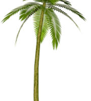 Árvores - Coqueiro 9
