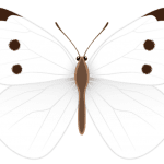 Borboletas – Borboleta Branca PNG