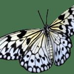 Borboletas – Borboleta Realista Branca PNG