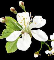 Flores - Flor Bonita Branca 3