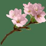 Flores – Flor Bonita Rosa 19 PNG
