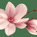 Flores – Flor Bonita Rosa Champagne 2 PNG