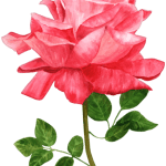 Flores – Rosa Vermelha PNG