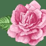 Flores – Rosa cor de Rosa 3 PNG