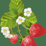 Imagem de Frutas – Morango 9 PNG