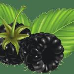 Imagem de Frutas – Amora 6 PNG