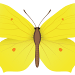 Borboletas – Borboleta Amarela PNG