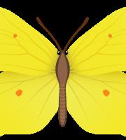 Borboletas - Borboleta Amarela