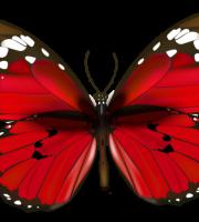 Borboletas - Borboleta Vermelha e Preta 5