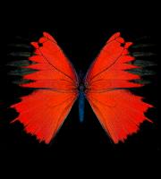 Borboletas - Borboleta Vermelha e Preta