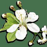 Flores – Flor Bonita Branca 3 PNG