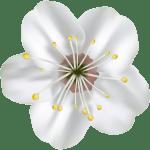 Flores – Flor Bonita Branca 4 PNG