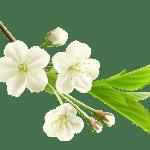 Flores – Flor Bonita Branca 6 PNG