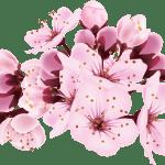 Flores – Flor Bonita Rosa 13 PNG