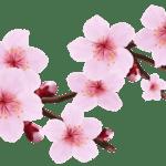 Flores – Flor Bonita Rosa 14 PNG