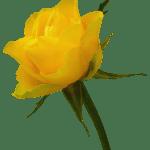 Flores – Rosa Amarela PNG