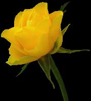 Flores - Rosa Amarela