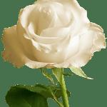 Flores – Rosa Branca PNG