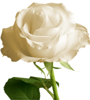 Flores - Rosa Branca