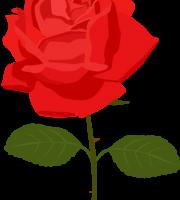 Flores - Rosa Vermelha 4