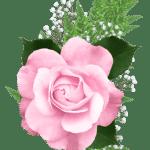 Flores – Rosa cor de Rosa 4 PNG