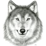 Desenho a Mão de Lobo PNG