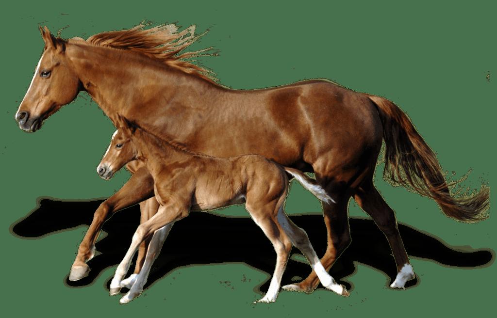 Figura Cavalo PNG - 125 Imagens Cavalo PNG grátis